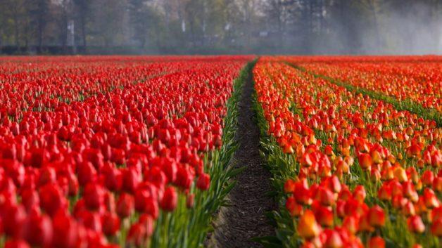 http://zoz.wodzislaw.pl/wp-content/uploads/2017/05/tulips-21690_960_720-628x353.jpg