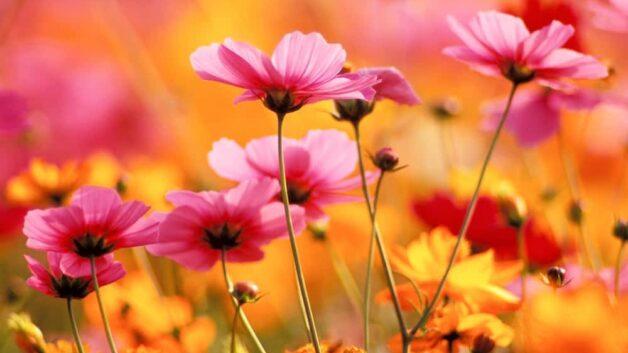 http://zoz.wodzislaw.pl/wp-content/uploads/2021/05/24587136-najpiekniejsze-kwiaty-z-ogrodow-naszych-babc-628x353.jpeg